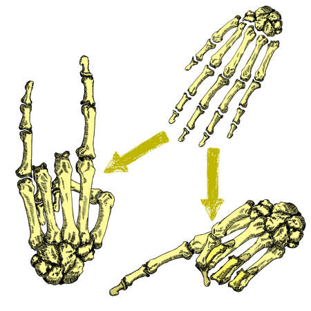 Human bones hand wrists drawing set. Creation set with fingers on wrist for gestures. Vector illustration.