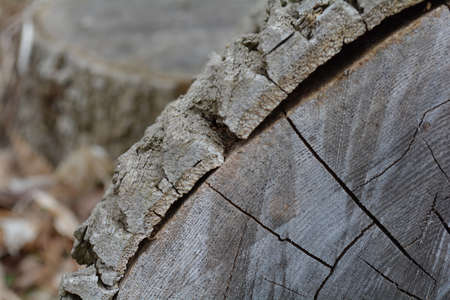 duramen: A cross section of the old tree, wood texture of cut tree trunk, close-up background. Unfiltered, with natural lighting. Close up focus. Foto de archivo