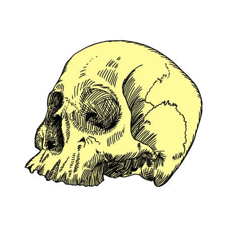 art museum: Anatomic skull, weathered and museum quality, detailed hand drawn illustration. Vector Art.