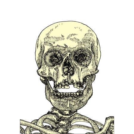 dientes sucios: cráneo anatómica con la boca abierta o la mandíbula, la calidad del degradado y museo, mano dibujada ilustración detallada. Arte del vector.