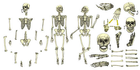 Human bones skeleton drawing collection set. Character creation set with moving arms, legs, jaw on skull and fingers on wrist for gestures. Vector illustration. Illustration