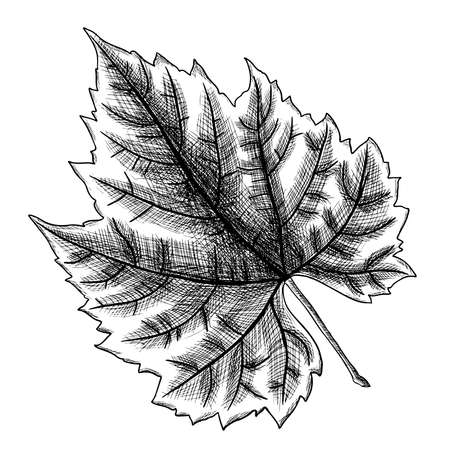 Detailed and precise ink drawing of grape leaf. Hand drawn in rustic design, classic drawing element. Vector. Ilustração