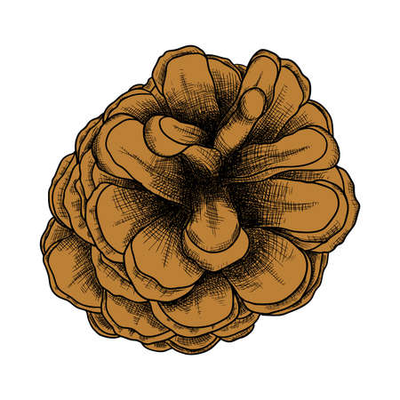 Conifer cone, pine cone, hand drawing in color pinecone with open scales