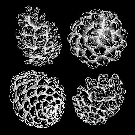 Set of vector hand drawn black and white realistic of pine cones. Collection of Christmas hand drawn fir cones. Cones of various trees cedars, firs, hemlocks, larches, pines and spruces.