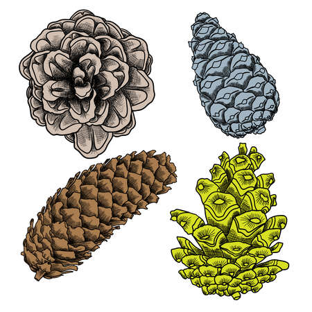 Hand drawing collection of pine cones. Forest vintage elements set of pine, spruce cones. Various color Male and female conifer cones of various trees cedars, firs, hemlocks, larches, pines, spruces.