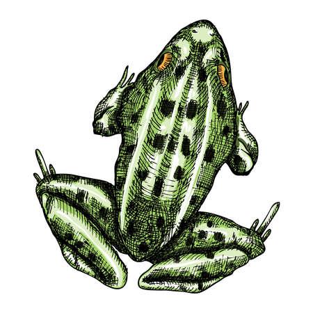 Frog, stylized drawing. 向量圖像