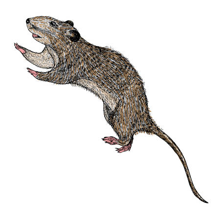 Rat hand drawn, isolated on white. Drawing sketch of the rat. Halloween, folklore black magic attribute. Vector. Vector Illustration