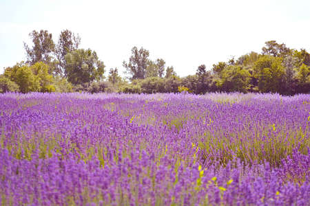 Lavender flower field, image of natural background. Ontario, Canada, Prince Edward Country.