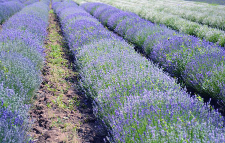Lavender flower field, image of natural background. Stock Photo