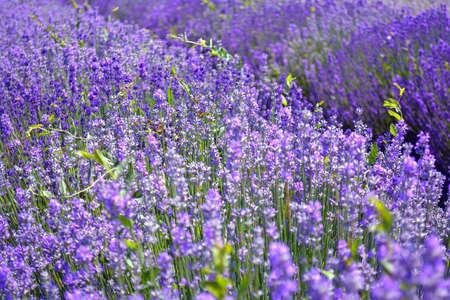 Lavender flower field, image of natural background. Foto de archivo