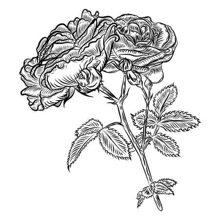Flowers. Hand drawn rose. Roses for decoration. Vector.