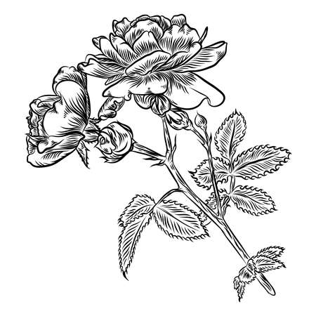 Flowers. Hand drawn rose. Roses for decoration. Vector. Vetores