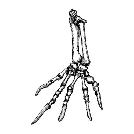 Stylized drawing lizard bones of the hand. Decorative drawn skeleton hand, animal hand, arm anatomy. Black drawing by hand. Witchcraft, voodoo magic attribute. Illustration for Halloween. Vector.