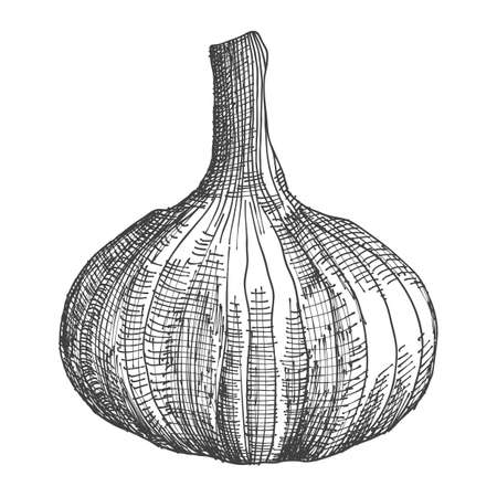 Hand drawing head of garlic. Herb and spice sketch illustration. Vector.