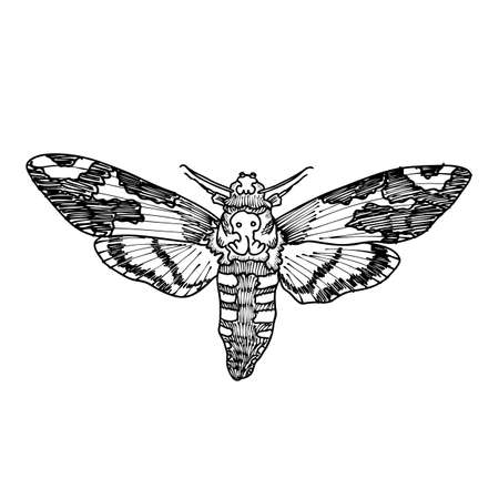 Deaths head hawk moth. Hand drawing of hawkmoth. Trendy vintage element. Dark romance, magic, spirit, occultism, death, magic. Witchcraft magic, occult attribute decorative element.