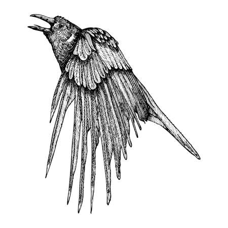 Stylized hand drawing crow. Decorative bird. Hand drawn raven or rook. Black and white drawing by hand. Witchcraft, voodoo magic attribute. Illustration for Halloween. Vector.