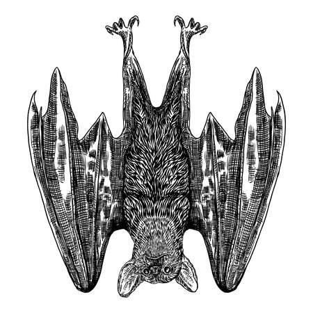 Bat drawing upside down. Gothic illustration of monsters for the Halloween. Witchcraft magic, occult attributes decorative elements. Drawing of night creatures. Flying aggressive vampire. Vector.  イラスト・ベクター素材
