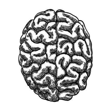 Engraving hand drawn left and right hemispheres brain. Top view isolated on white background. Vector.