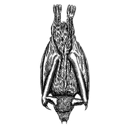 Bat drawing upside down. Gothic illustration of monsters for the Halloween. Witchcraft magic, occult attributes decorative elements. Drawing of night creatures. Flying aggressive vampire. Vector. Illustration