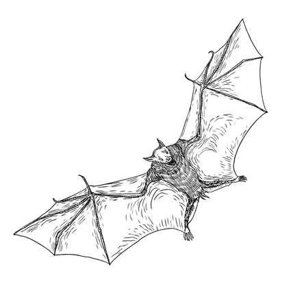 Bat with open wings drawing. Gothic illustration of monsters for the Halloween. Witchcraft magic, occult attributes decorative elements. Drawing of night creatures. Flying vampire. Vector. Illustration