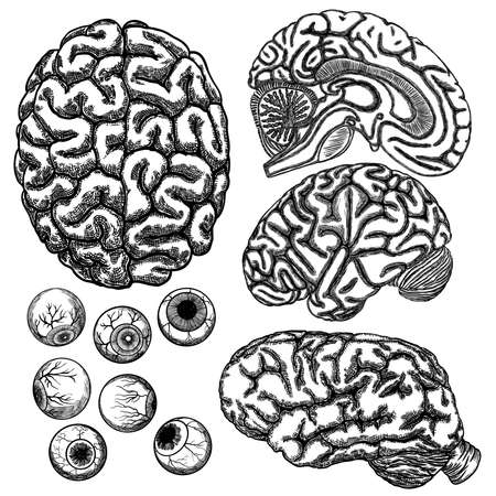 Human brain hemisphere and eyeball or eye set.  Illustration of  top, side and cut layer view isolated on white background. Illustration