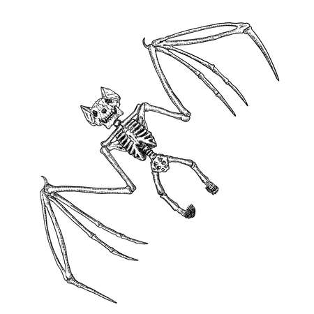 Bat skeleton drawing. Gothic illustration of aggressive monsters bones for the Halloween. Witchcraft magic, occult attributes decorative elements. Drawing of dead night creature with fangs. Vector.