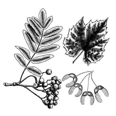 Hand drawing ink rustic maple seeds. Detailed and precise drawing of grapes leaf. Rowan or rowanberry. Sorb, ash, pit. Vector.