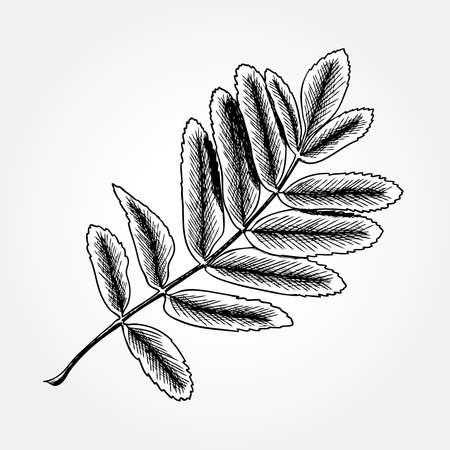 Detailed and precise ink drawing of rowan or rowanberry leaves. Berries and rowan berries leaves, hand drawn in rustic design, drawing element of sorb, wild ash, pit or rowan-tree leaves. Vector.