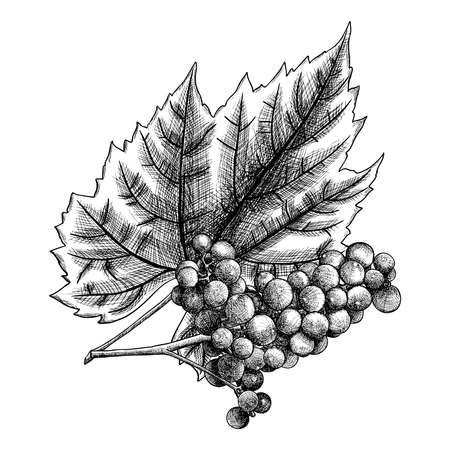 Disegno a inchiostro dettagliato e preciso dell'uva o dell'elemento del vino. Bacche, disegnate a mano in un design rustico, elemento di disegno classico. Vettore.