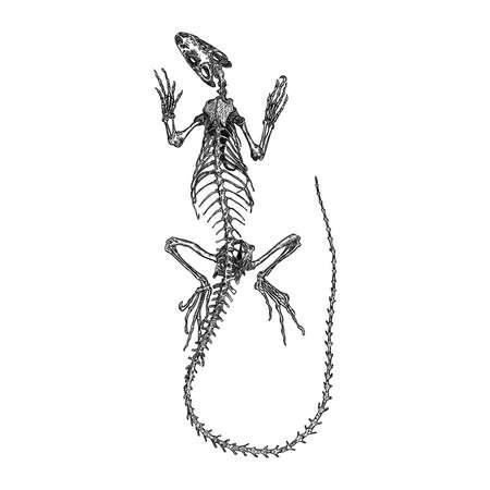 Iguana  lizard skeleton and skull. Stylized drawing of lizard bones. Decorative drawn skeleton. Witchcraft, voodoo magic attribute. Illustration for Halloween. Vector