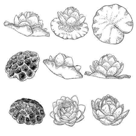 Lotus flowers and leaves set. Sketched floral botany of water lilies. Indian religion symbol of purity and enlightenment. Black white, hand drawn isolated water pond lily floral. Vector.