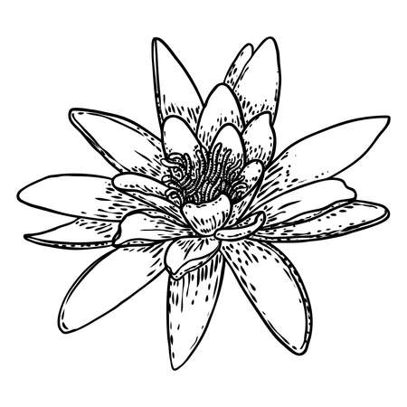 Lotus flower. Floral botanical water lily flower. Isolated blooming pond wildflower. Lotus flower for spiritual body and mind designs, spa, meditation, religion, yoga. Vector.