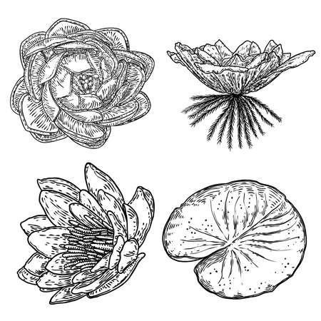 Set of lotus drawings. Various view of water lily blooming heads and leafs. Flowers buds in hand drawn floral style. Wild pond lotus floral design elements for spiritual body and mind visuals. Vector.
