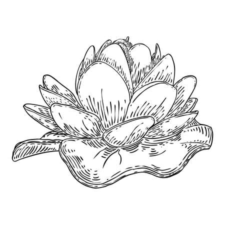 Lotus flower and leave. Sketched floral botany of water lily. Indian religion symbol of purity and enlightenment. Black white, hand drawn isolated water pond lily floral. Vector. Ilustración de vector