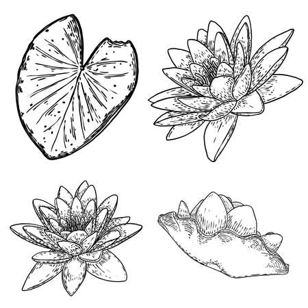 Set of lotus drawings. Various view of water lily blooming heads and leafs. Flowers buds in hand drawn floral style. Wild pond lotus floral design elements for spiritual body and mind visuals. Vector. Ilustración de vector
