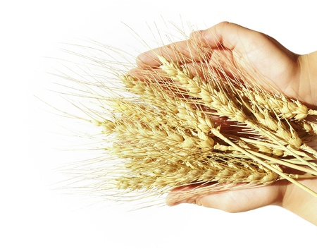 crop cultivation: Wheat in childrens hands.