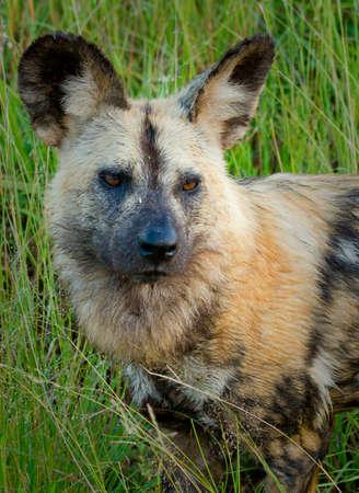 african wild dog: African wild dog