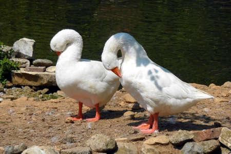 preening: Geese preening