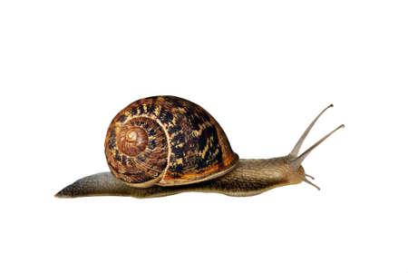 mollusc:  Garden snail - isolated