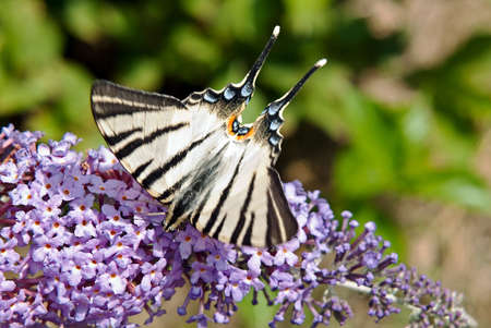 buttery: Camouflaged buttery - Swallowtail - looking fierce. Stock Photo