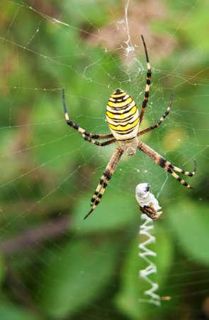 argiope: Spider - argiope aurantia  Stock Photo