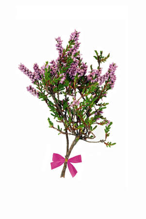 Sprig of lucky heather - with bow. Isolated. Stock Photo