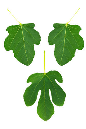 Symbolic set of fig leaves to cover your modesty (maybe!). Stock Photo - 7757589