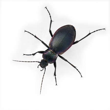 carabus: Beautiful, big,  purple beetle - isolated on white Stock Photo