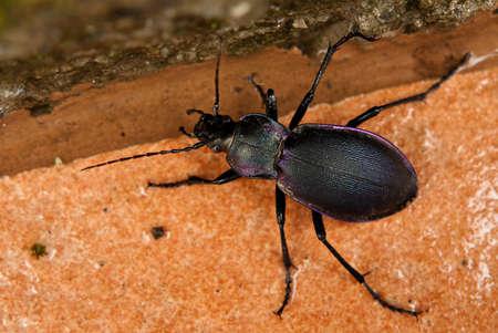 carabus: Purple ground beetle - Carabus Problematicus