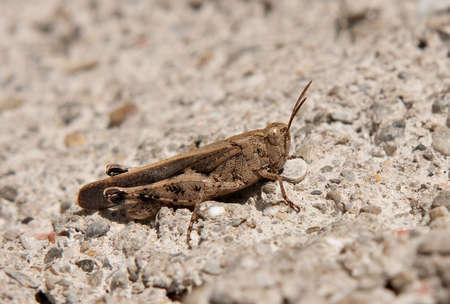 Grasshopper macro photo