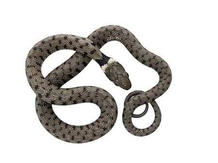 grass snake: Giovane biscia - isolata on white