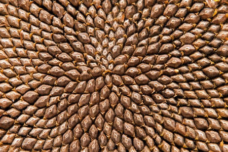 Sunflower seedheaad pattern (fibonacci) Stock Photo