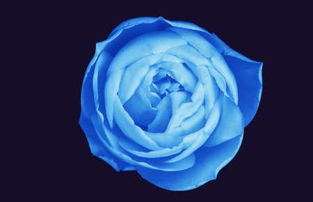 voluptuous: Blue rose - voluptuous and sensuous - isolated on darkest navy Stock Photo