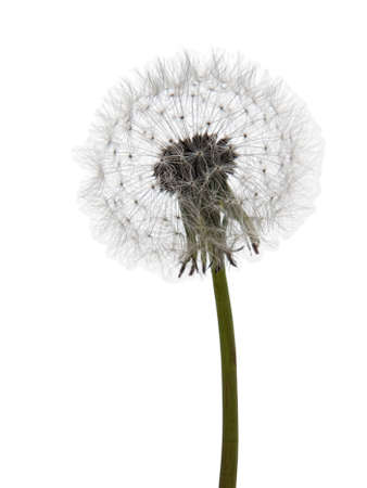 Dandelion clock seed head over white